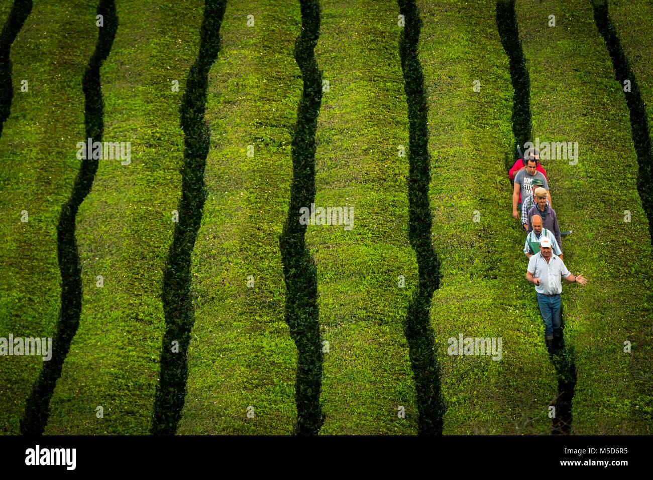 Workers at Chá Gorreana tea plantation, near São Brás de Alportel, Sao Miguel, Azores, Portugal - Stock Image