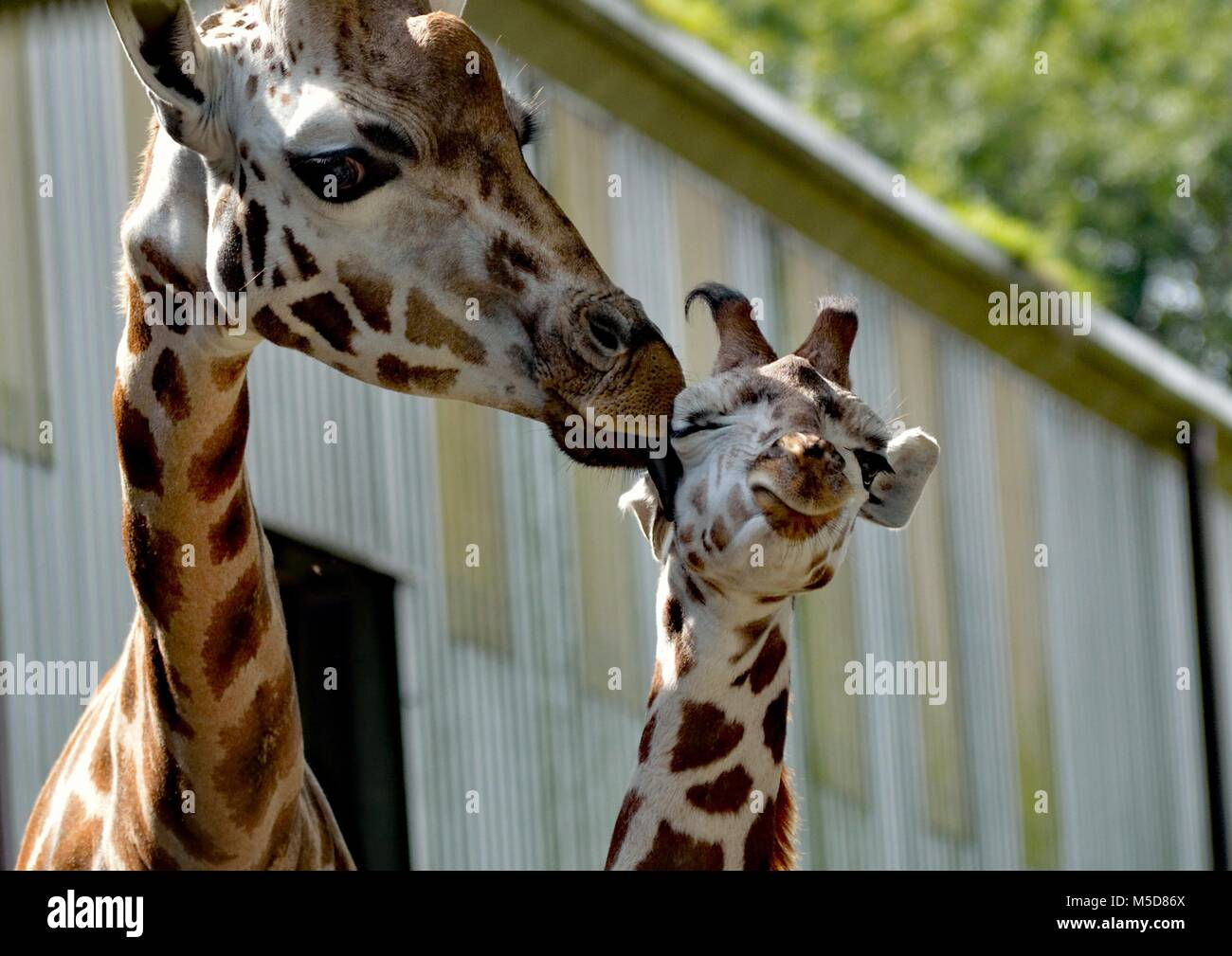 Baby giraffe pulling a funny face on being licked by its mother - Stock Image