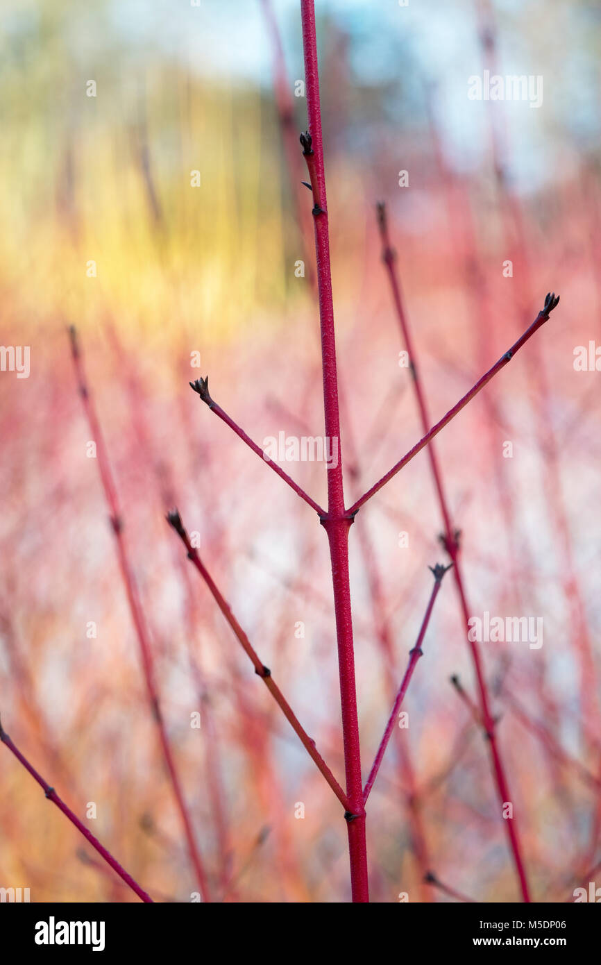 Cornus Sanguinea 'Midwinter Fire'. Dogwood 'Midwinter Fire' coloured stems in winter. England - Stock Image