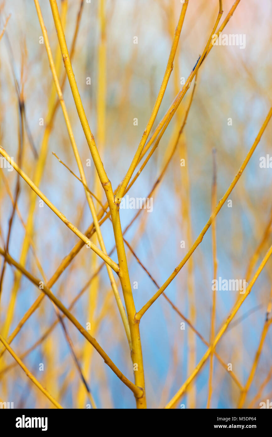 Salix alba 'Golden ness'. White willow 'Golden Ness' stems in winter. England - Stock Image