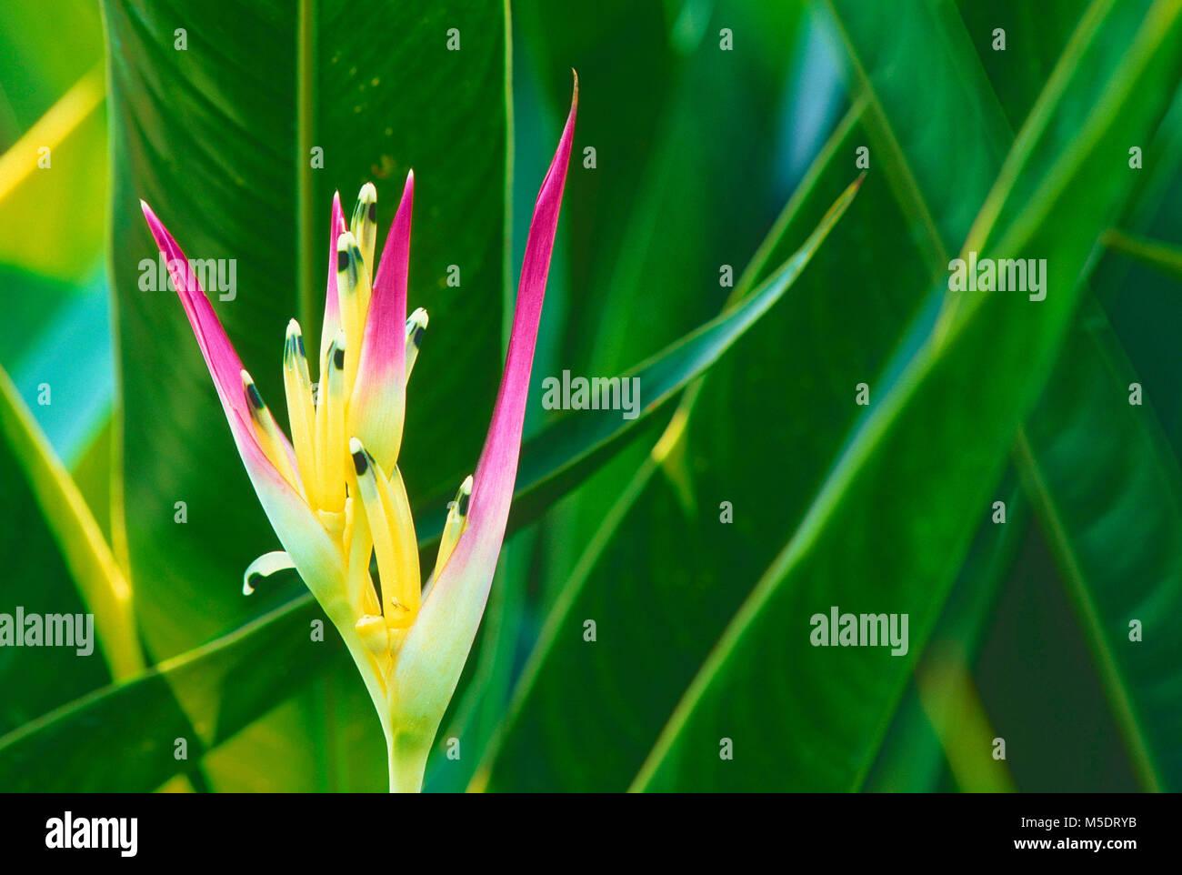 Heliconia, Heliconia latispatha, Heliconiaceae, inflorescence, flower, plant, Botanic Garden, Singapore - Stock Image