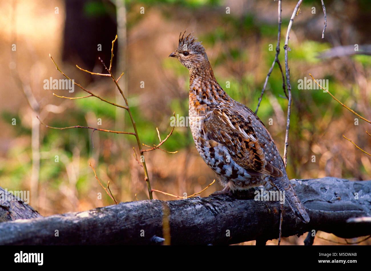 Ruffed Grouse, Bonasa umbellus, Phasianidae, Grouse, bird, animal, Jasper National Park, Alberta, Canada - Stock Image