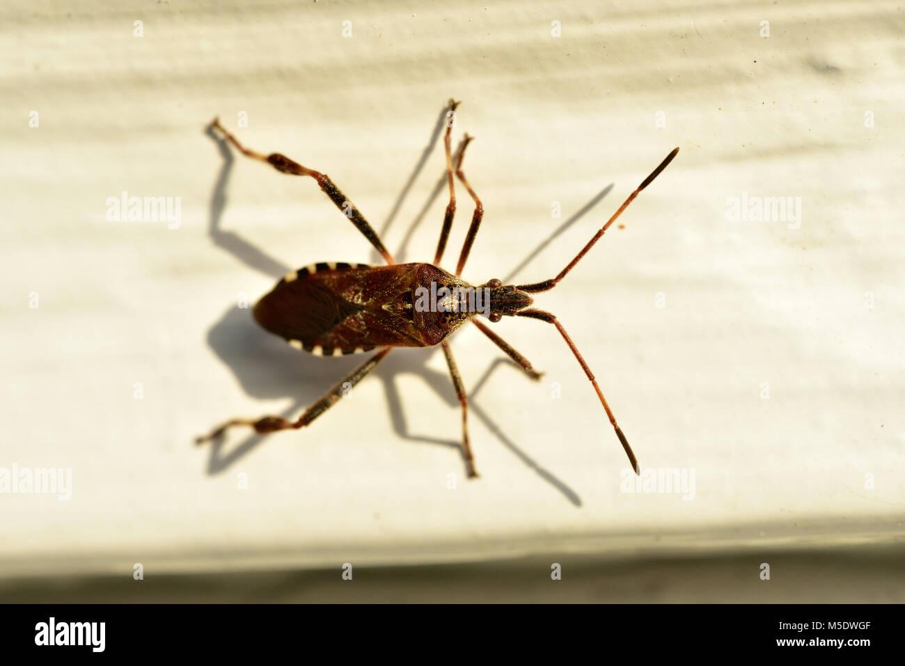 Western conifer seed bug, Leptoglossus occidentalis, Coreidae, bug, insect, animal, Zurich, Switzerland - Stock Image