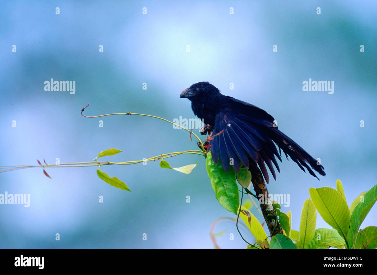 Groove-billed Ani, Crotophaga sulcirostris, Cuculidae, Ani, bird, animal, Selva Bananita Lodge, Costa Rica - Stock Image