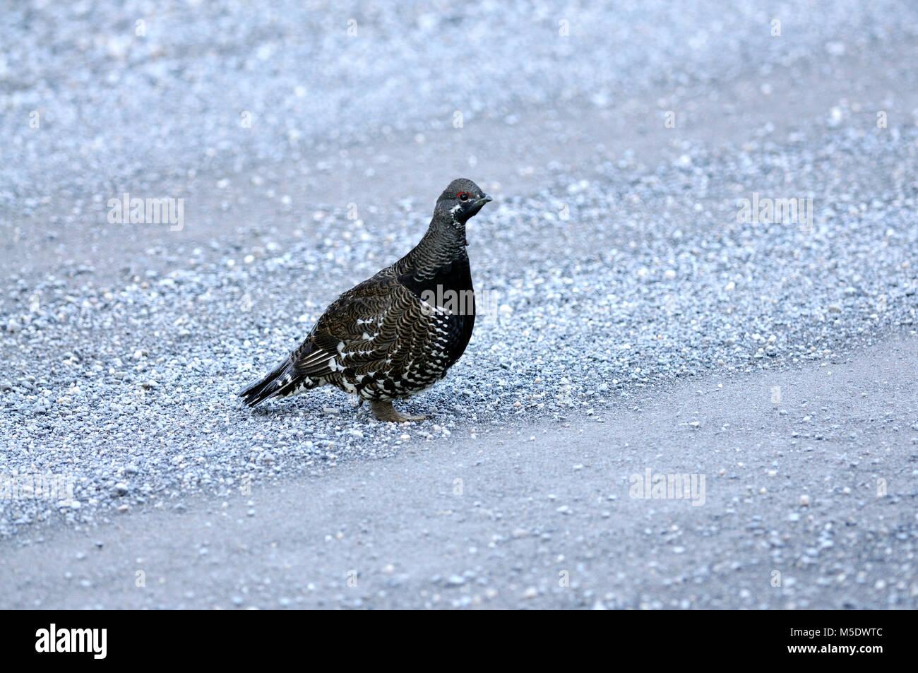 Spruce Grouse, Falcipennis canadensis, Phasianidae, Grouse, bird, animal, Jaspar National Park, Alberta, Canada - Stock Image