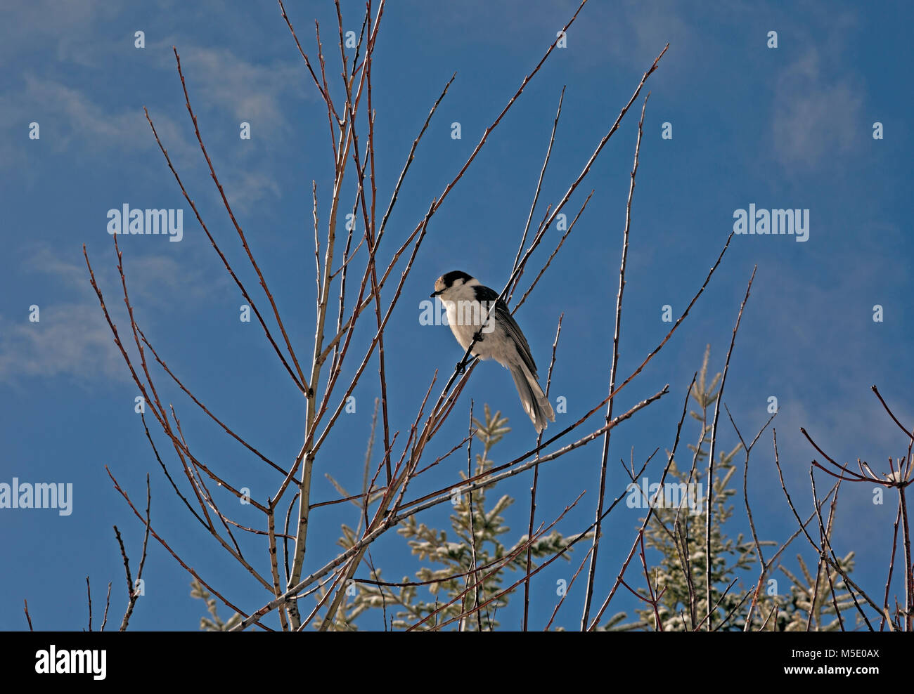 WA13592-00...WASHINGTON -  Camp robber (gray jay - Perisoreus canadensis)  waiting to grab food from some unsuspecting - Stock Image