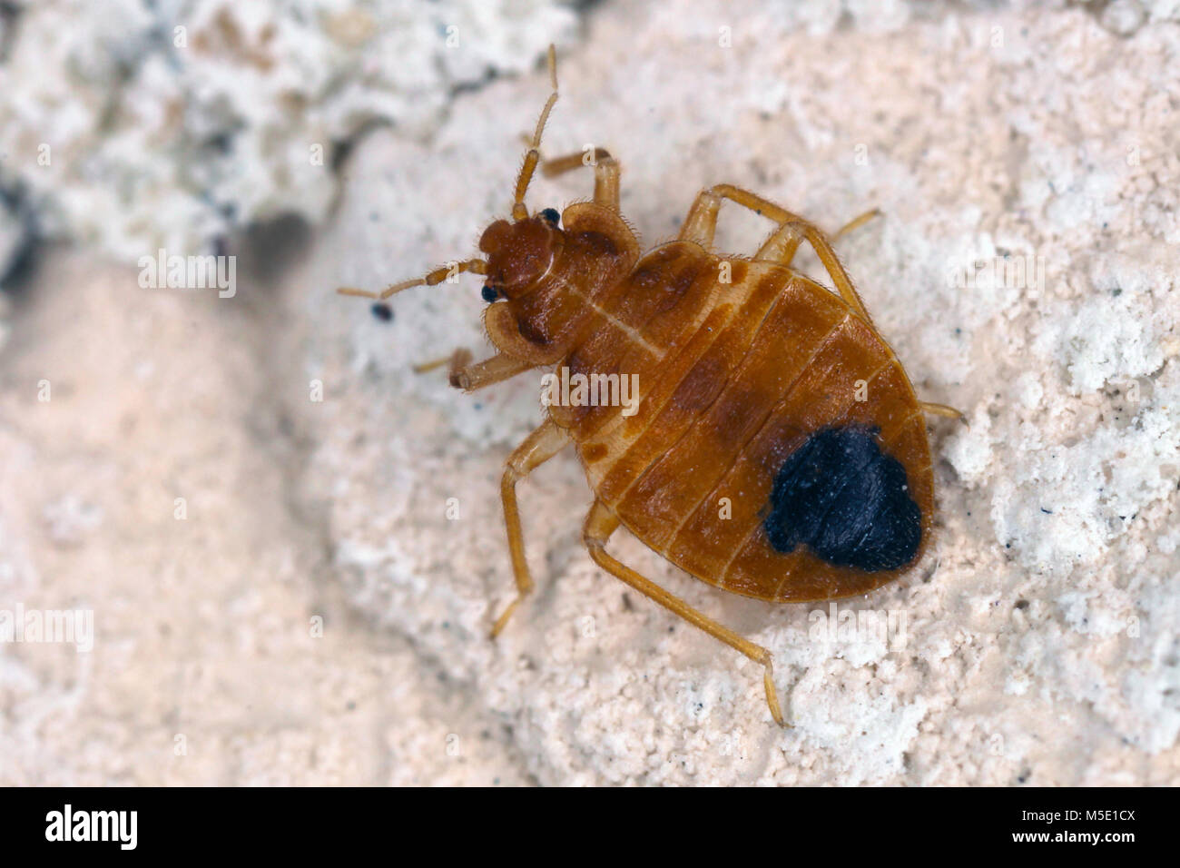Bed bug Cimex lectularius parasitic insects of the cimicid family feeds on human blood. Insect on the wall of the - Stock Image