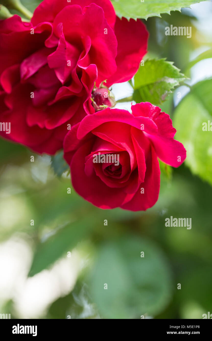 romance, petal, romantic, valentine, plant, love, beautiful, beauty, flower, rose, nature, rose flowers, rose flower, Stock Photo