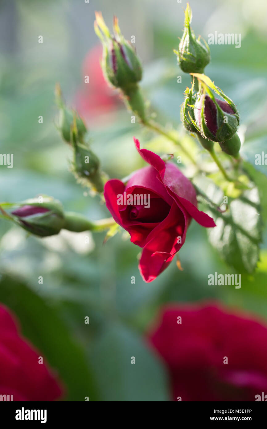 I Take Pictures Of Beautiful Rose Flowers Stock Photos I Take