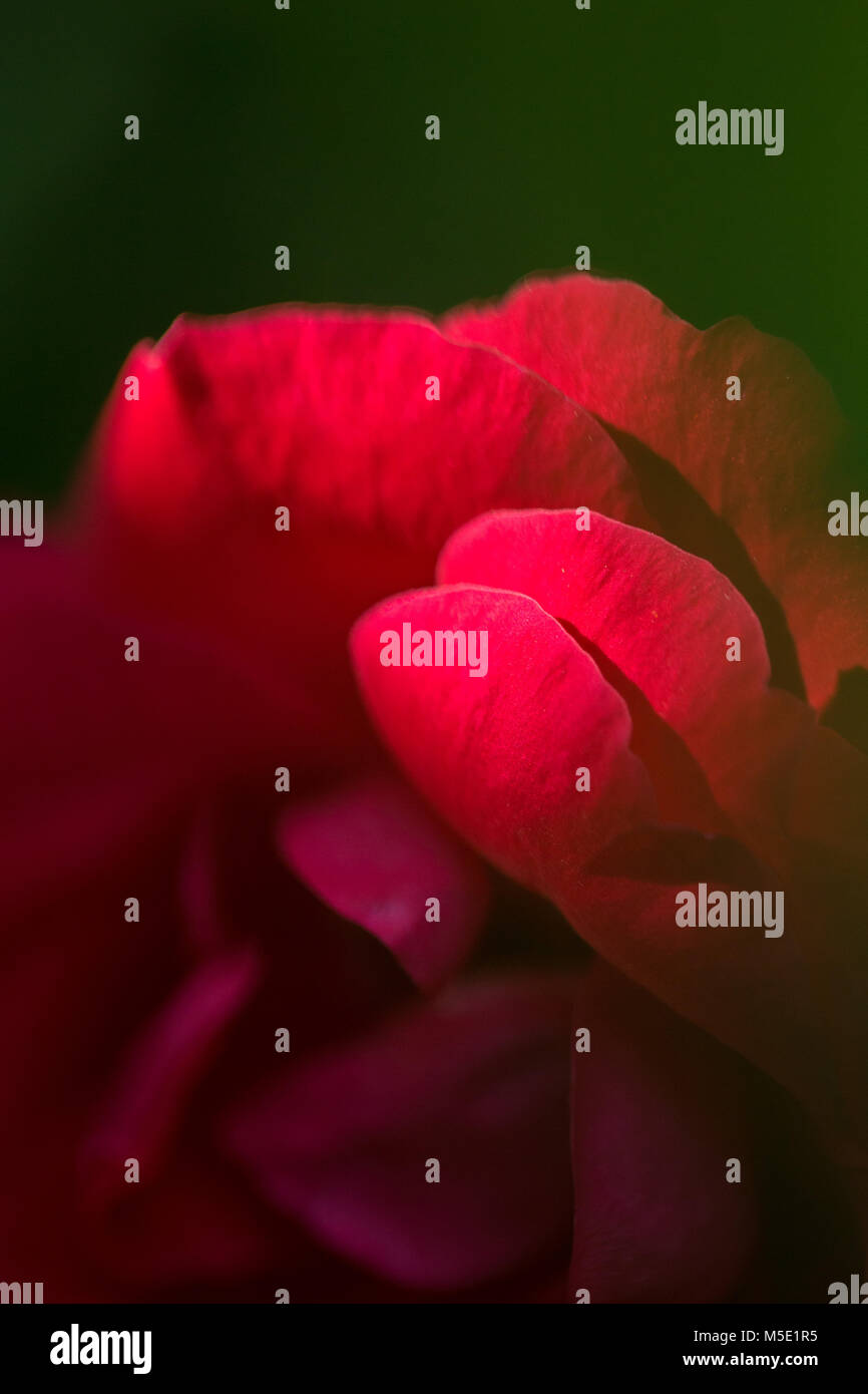 romance, petal, romantic, valentine, plant, love, beautiful, beauty, flower, rose, nature, rose flowers, rose flower, - Stock Image