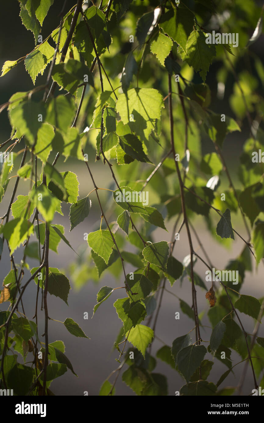 plant, beautiful, sunny, sun, natural, branch, leaf, green, nature, birch, birch leaves, leaves, tree, shine, evening, - Stock Image