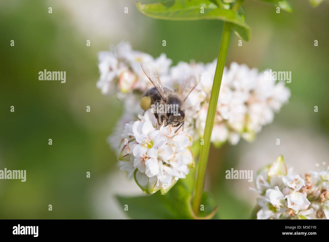 honey, beauty, floral, background, petal, white, nature, filthy, pollen, field, bee flower, sunny, proboscis, amazing, wings, radar, hive, labor Stock Photo