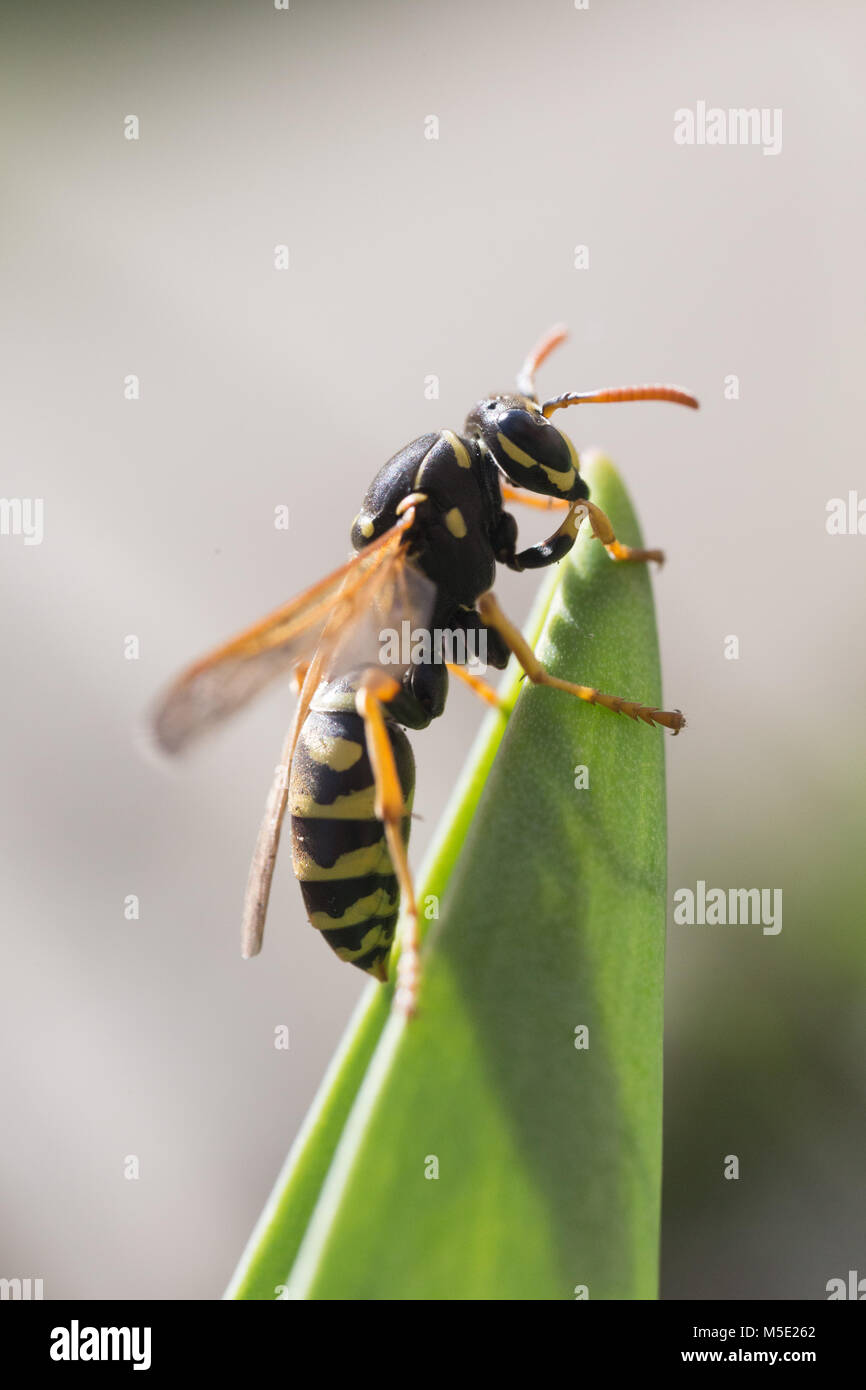 animal, control, danger, day, fly, garden, insect, macro, nature, shine, sting, summer, venom, wasp, wildlife, yellow - Stock Image