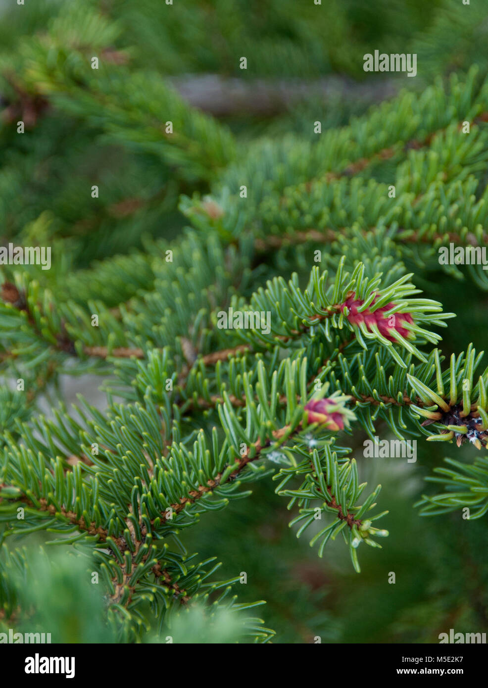 Conifer branch,  	Picea abies,  Norway Spruce 'Acrocona', Acrocona Norway Spruce, Red Cone - Stock Image