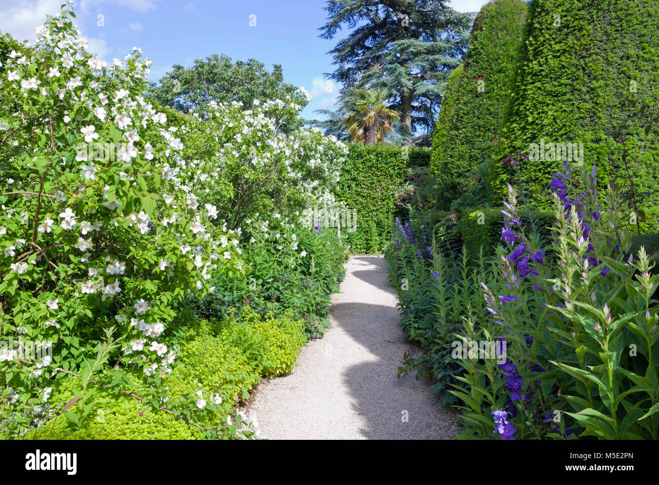 Garden path between yew topiary trees and white flowering shrubs, purple flowers, on a sunny summer day . - Stock Image