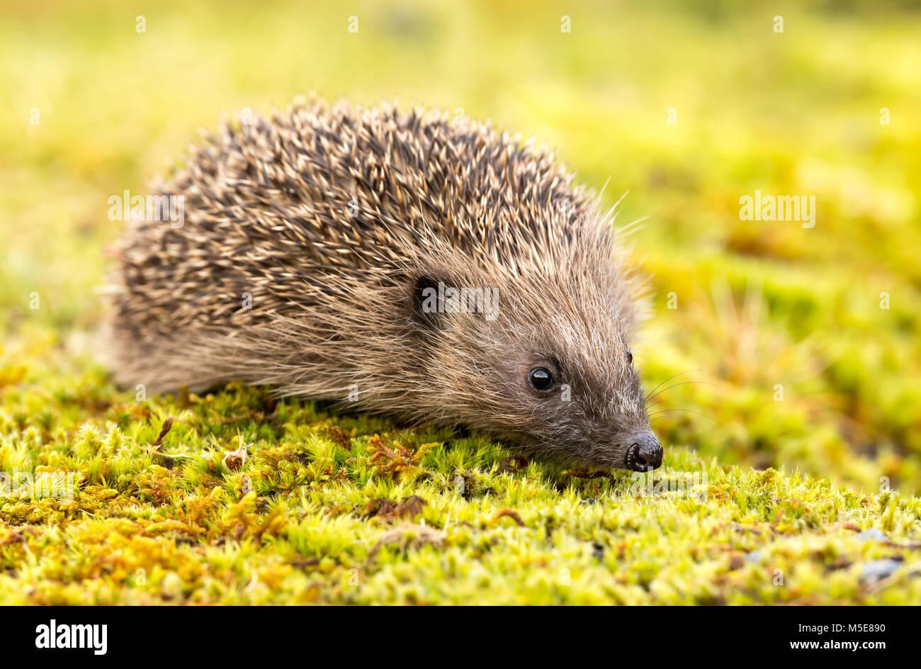 Hedgehog, UK, Native European Hedgehog on Green moss - Stock Image