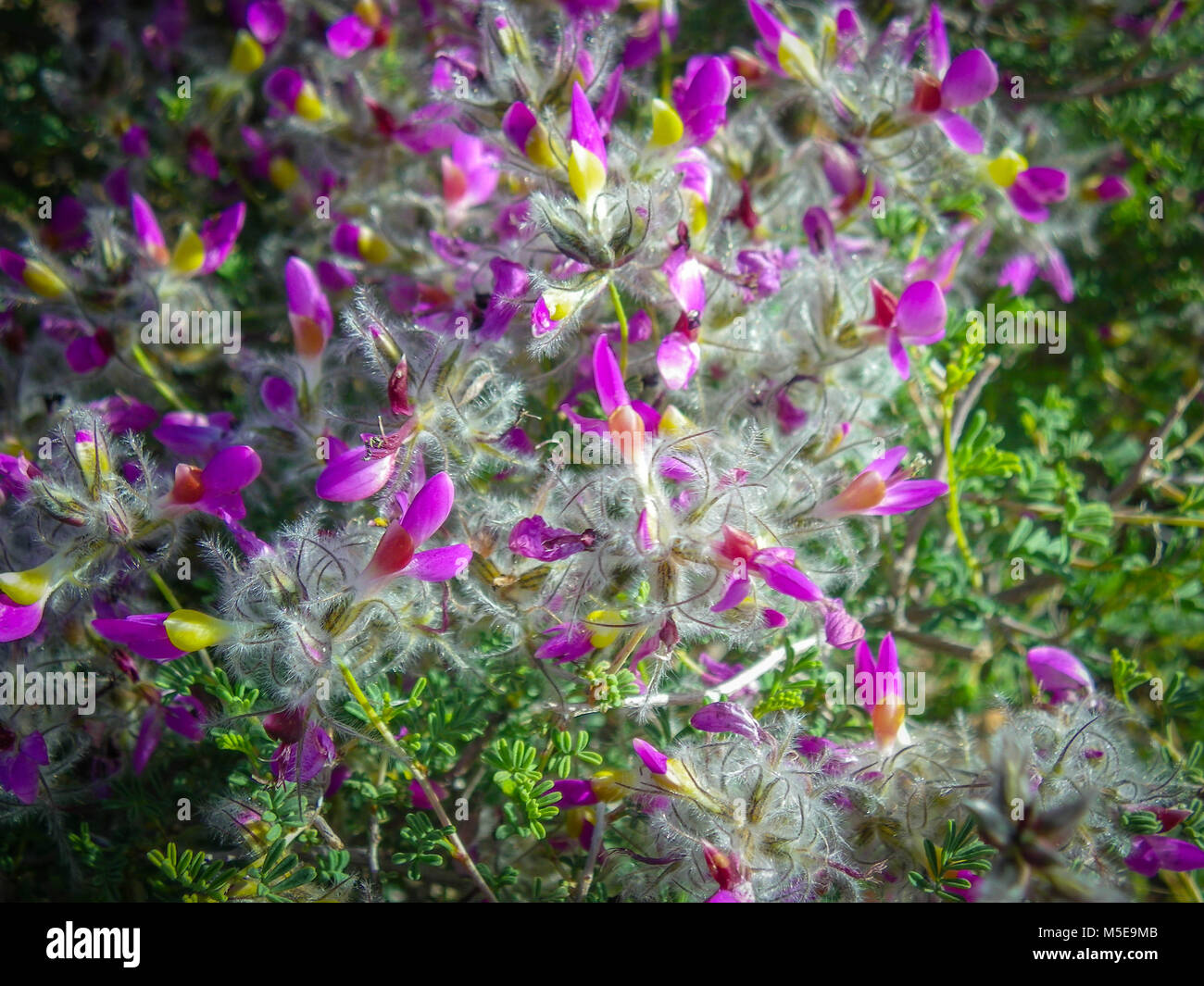 Small purple flowers growing on stock photos small purple flowers small purple flowers with yellow center and fluff on them stock image mightylinksfo