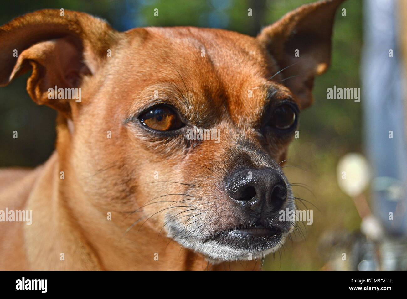 Linus the Chihuahua and Pug mix - aka a chug- is enjoying the sun with a pensive look into the distance - Stock Image