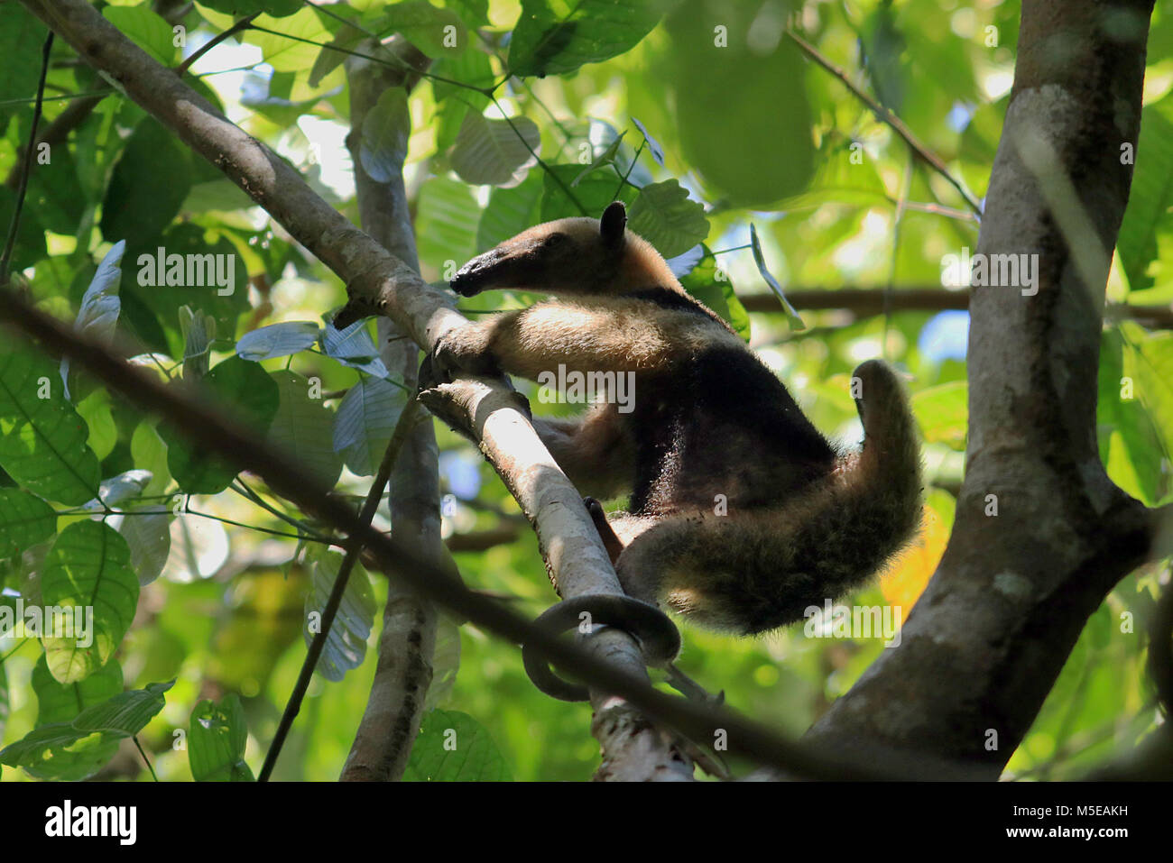 Wild Northern Tamandua licking ants of a tree in the rainforest of the remote Corcovado National Park in southern Stock Photo