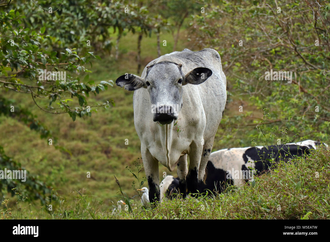 Cow grazing on the slopes of Mount Arenal in Alajuela Province, in Northern Costa Rica. - Stock Image