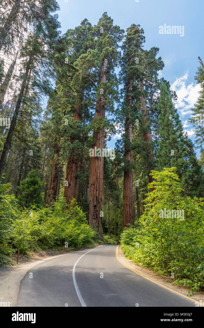 Group of Giant Sequoia trees along the Generals Highway