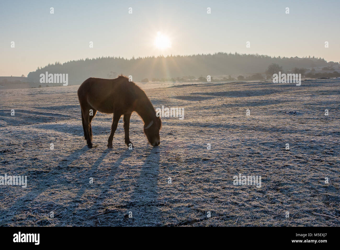 Ogdens, Frogham, Fordingbridge, New Forest, Hampshire, 23rd February 2018. Pony grazing on frozen grass. Temperatures - Stock Image