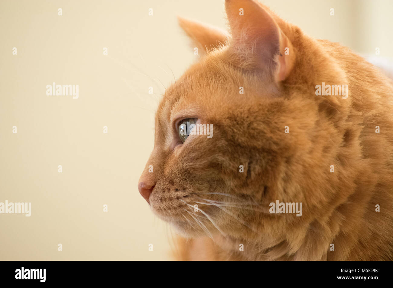 Side view closeup of face of orange tabby cat with eyes open - Stock Image