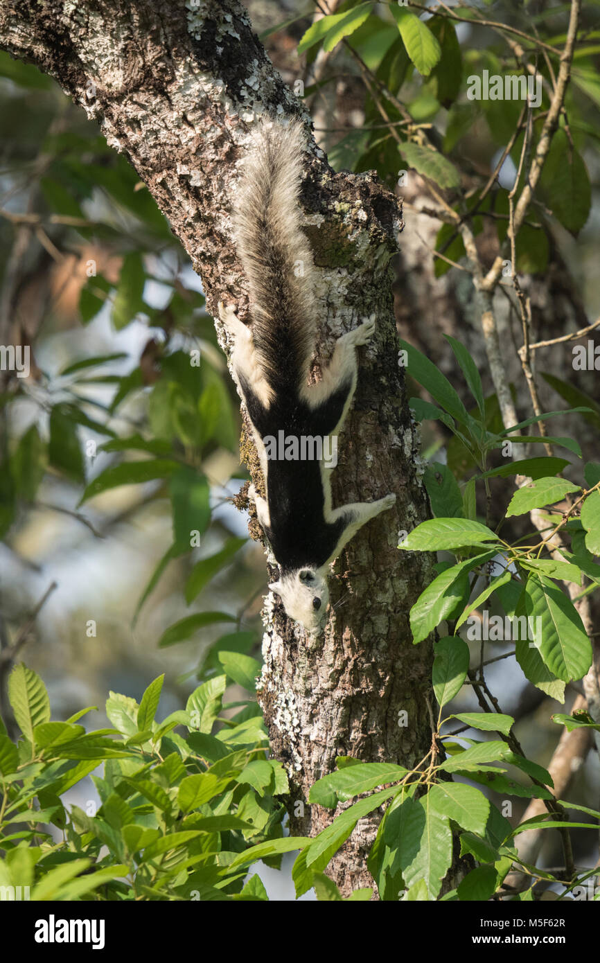 A Variable or Finlayson's Squirrel (Callosciurus finlaysonii bocourti) pied morph in Nam Nao National Park in - Stock Image