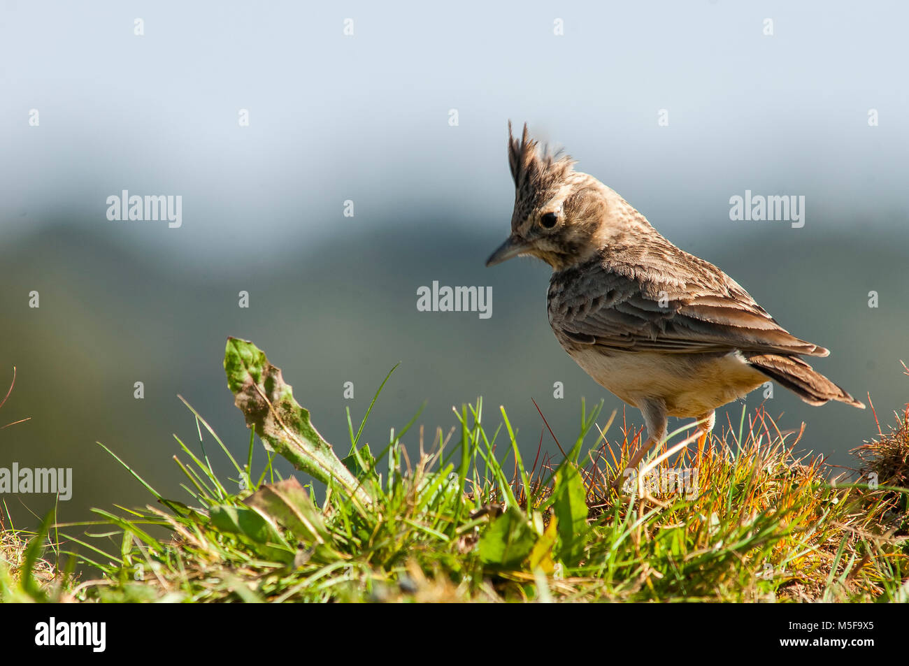Crested Lark (Galerida cristata) open land, Spain sparse vegetation - Stock Image
