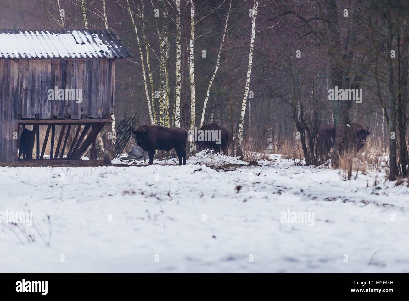 European bisons on a meadow in Gruszki village within Hajnowka County, Podlaskie Voivodeship of Poland - Stock Image