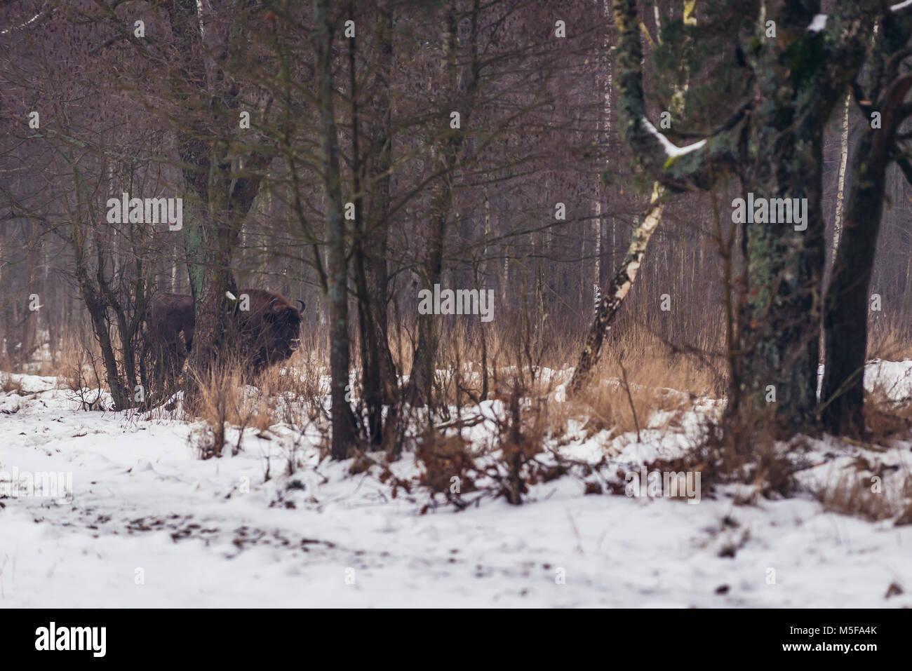 Free-living European bison in Gruszki village within Hajnowka County, Podlaskie Voivodeship of Poland - Stock Image