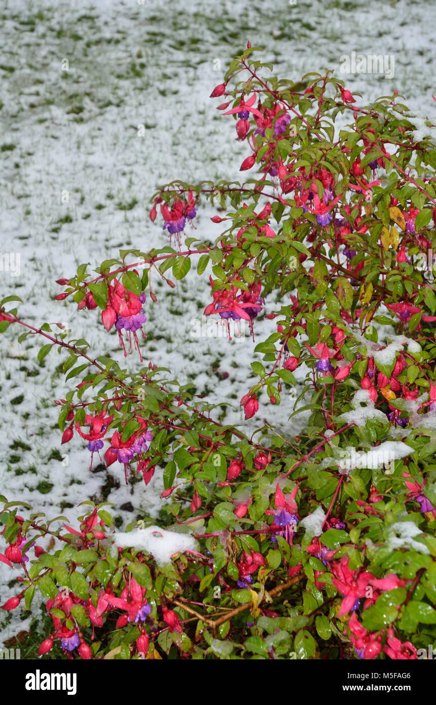 Fuchsia (Onagraceae) on frosty garden in November. Sheffield, South Yorkshire, UK United Kingdom, Europe - Stock Image