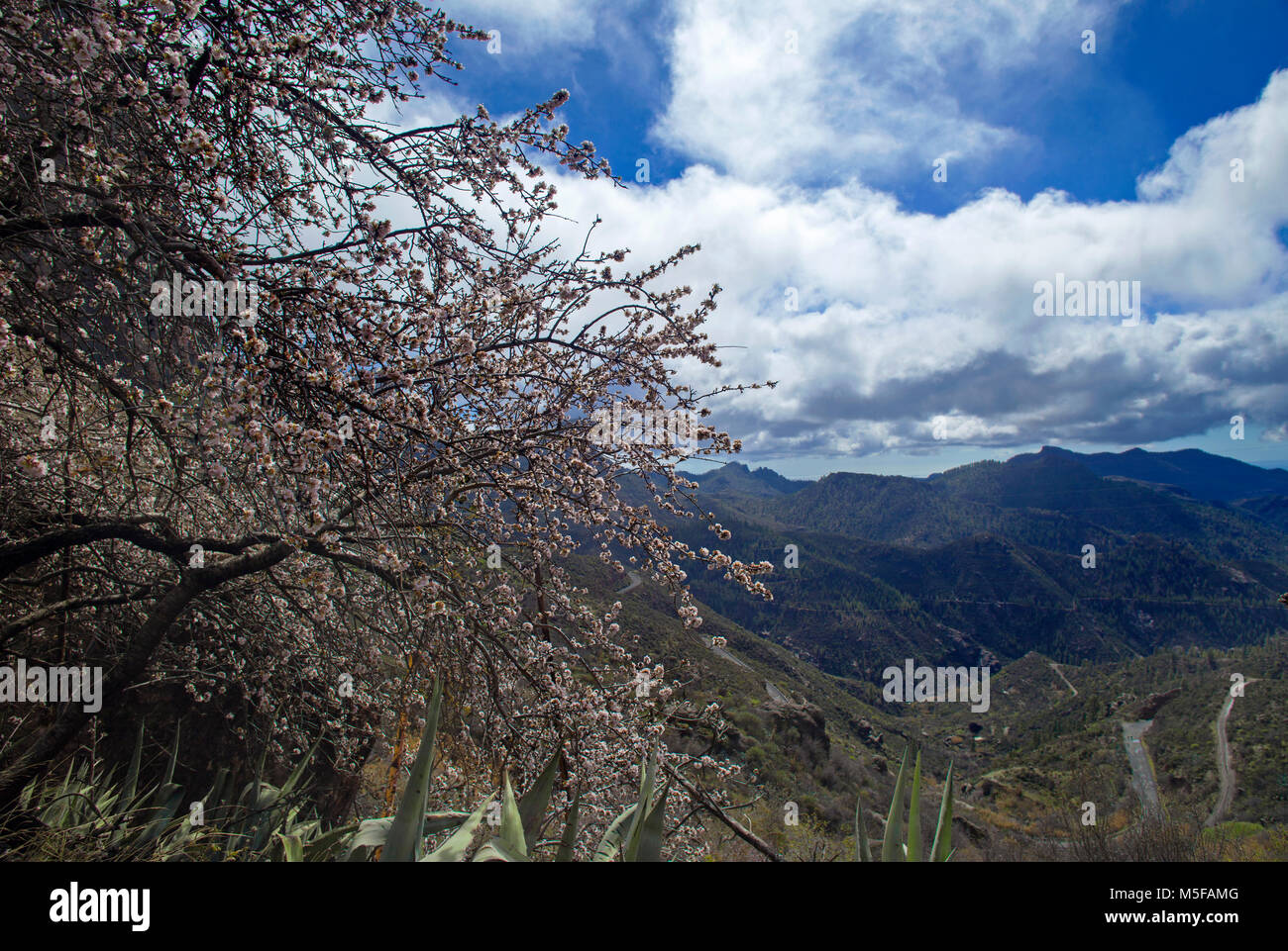 Gran Canaria, February 2018, almond trees starting to bloom latein Las Cumbres - the highest ares of the island - Stock Image