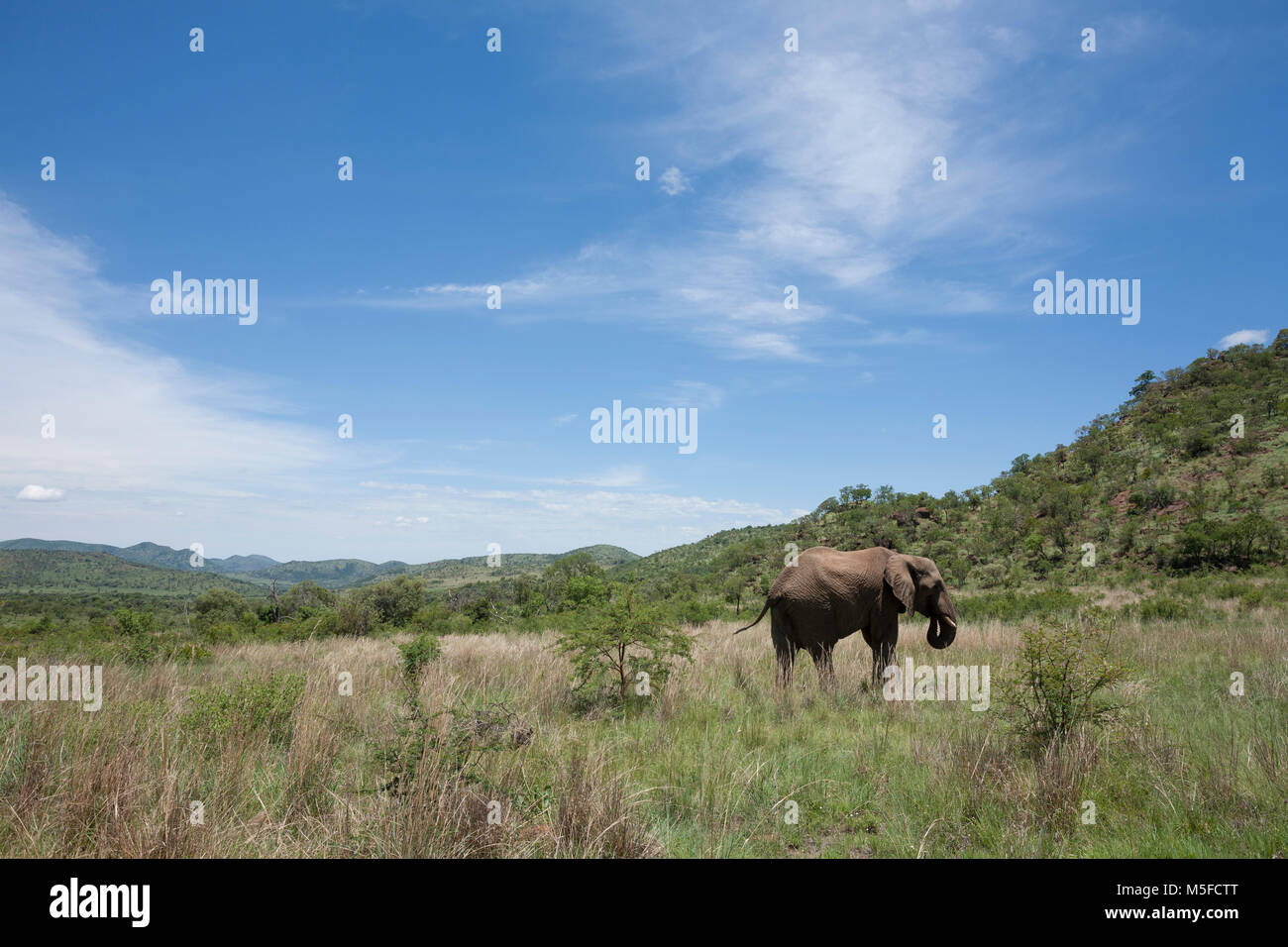A view of a foraging African elephant in the veld in Pilanesberg National Park, South Africa. - Stock Image
