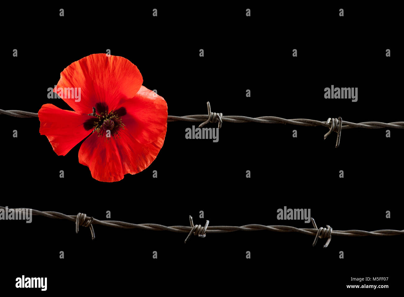 Poppy and barbed wire on a black background Dorset England UK GB - Stock Image