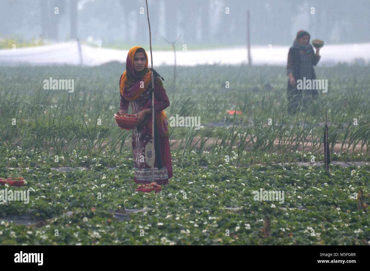 Lahore, Pakistan. 23rd Feb, 2018. Pakistani farmer busy plucking strawberries from a field in the outskirts of Provincial - Stock Image