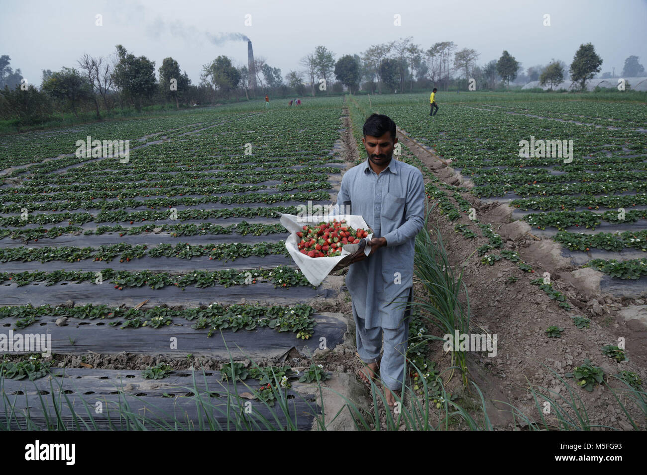 Lahore, Pakistan. 22nd Feb, 2018. Pakistani farmer busy plucking strawberries from a field in the outskirts of Provincial - Stock Image