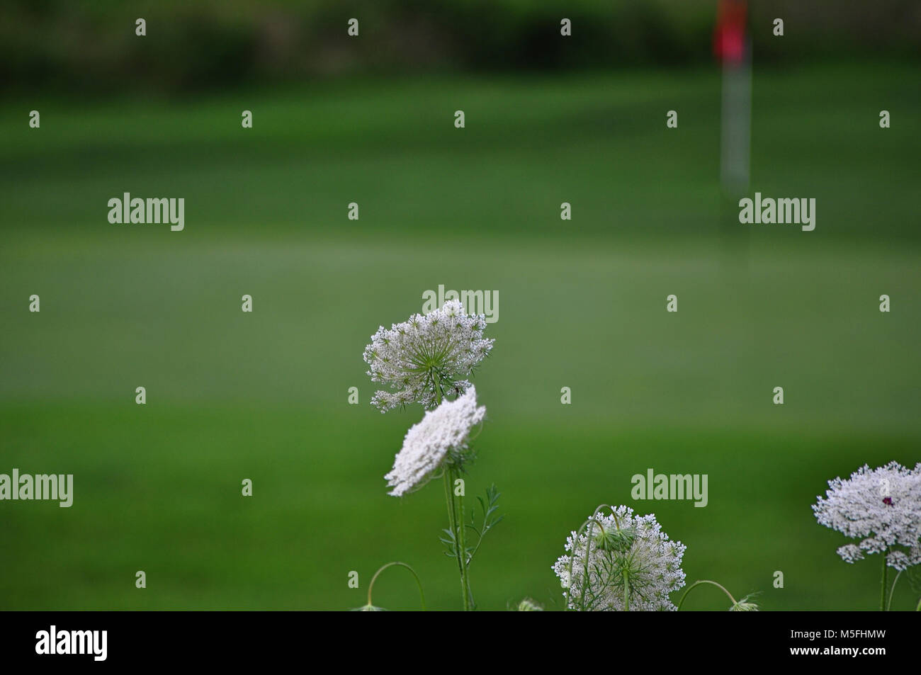 White Flowers Near Golf Green With Red Flag On Golf Pole Stock Photo