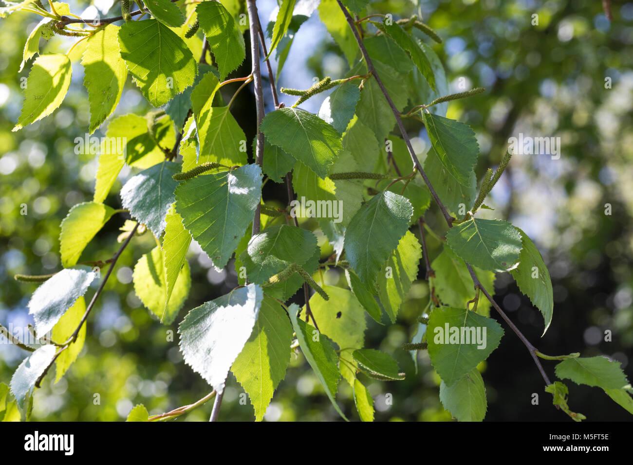 Moor-Birke, Moorbirke, Haar-Birke, Besen-Birke, Behaarte Birke, Betula pubescens, Betula alba, downy birch, moor Stock Photo