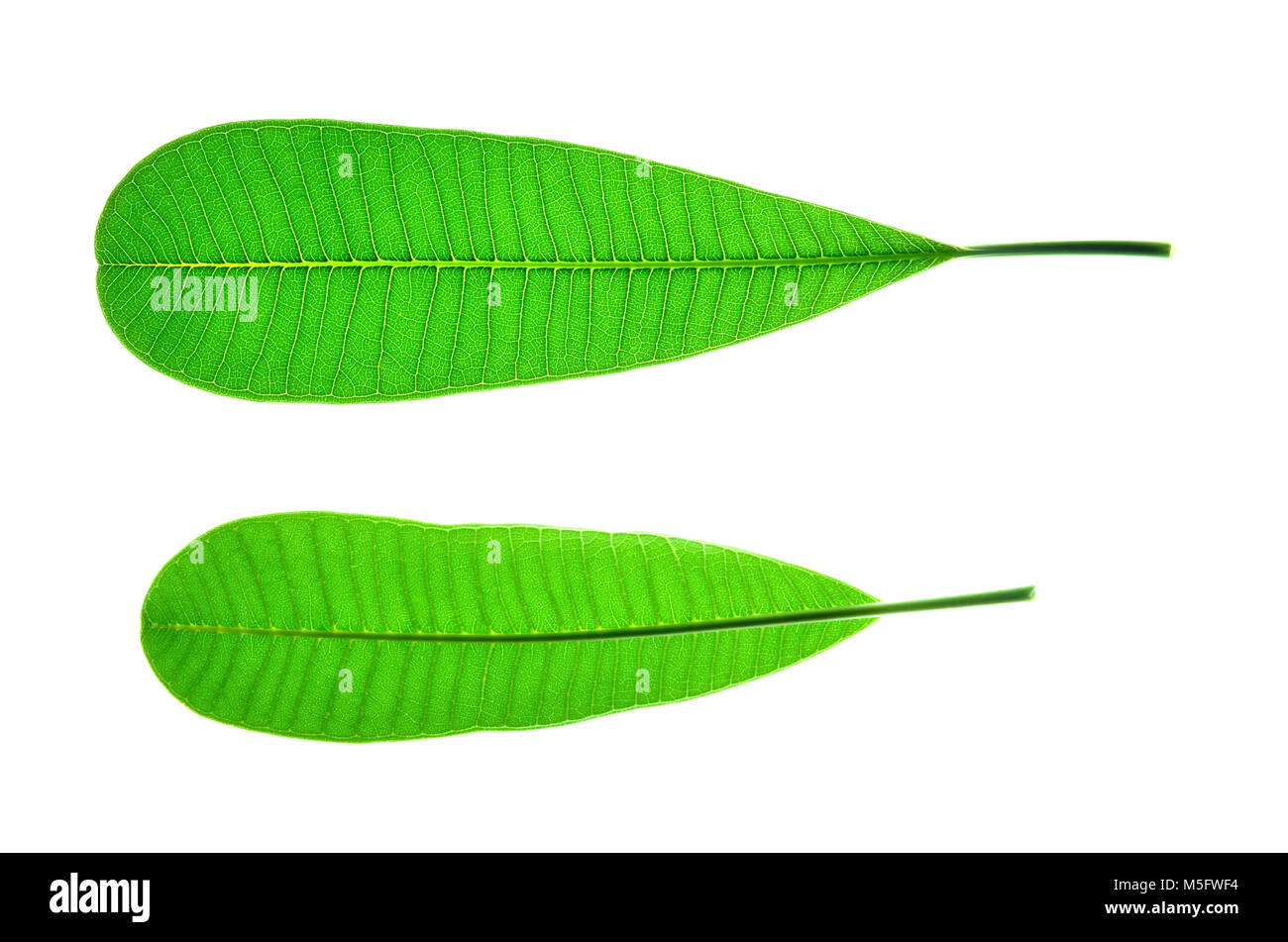 Isolate frangipani or plumeria  leaf, a close up photo of frangipani or plumeria leaf isolate on white bright light Stock Photo