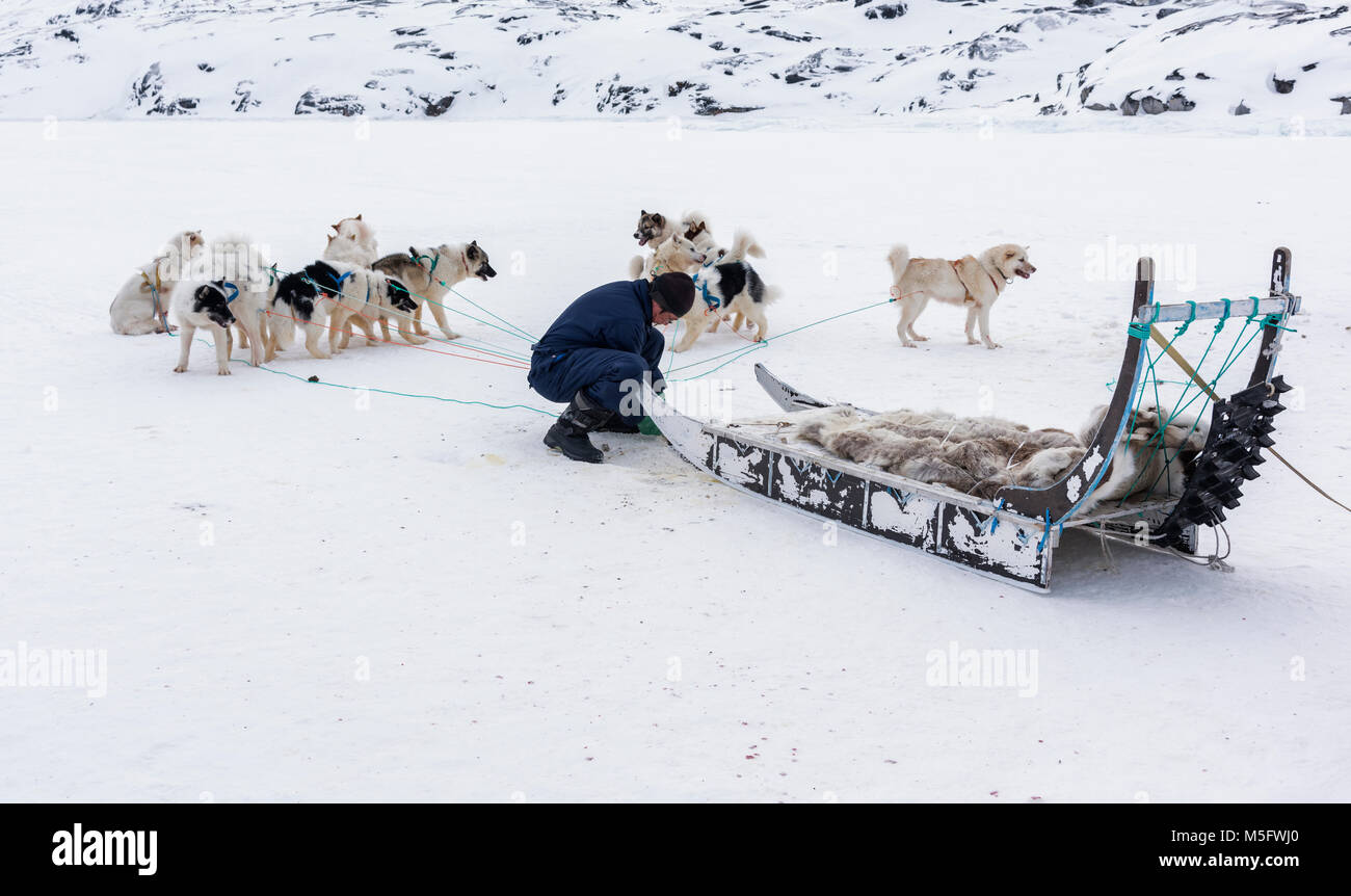 Local hunter Hans exercising his sled dogs in Oqaatsut village - Stock Image