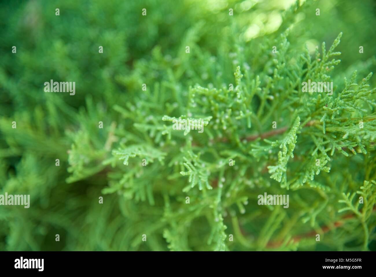 Christmas branch - Stock Image