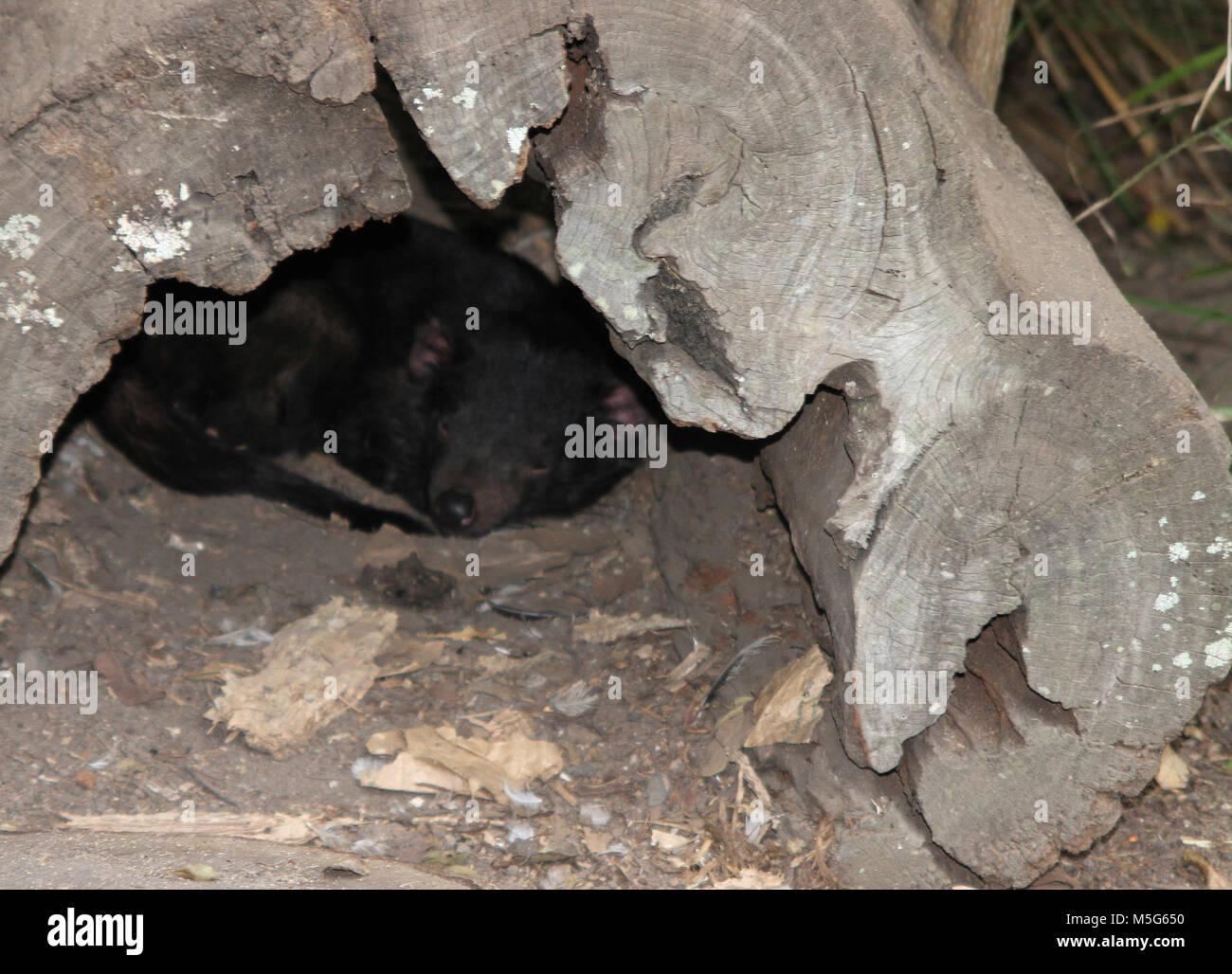 Tasmanian devil, Sarcophilus harrisii,  Lone Pine Koala Sanctuary, Brisbane, Australia Stock Photo