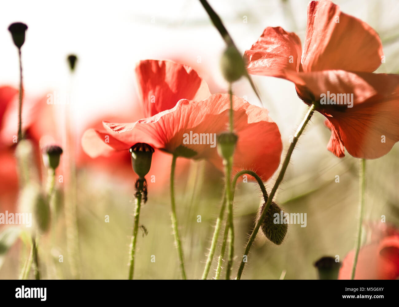 A location shoot of poppies by Claire Allen LRPS in Devizes, Wiltshire. www.wiltshireartandphotography.co.uk - Stock Image
