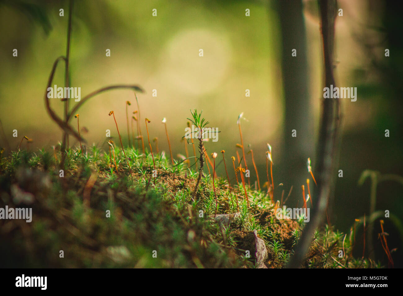 Pine tree closeup - the moss on the stump, macro plants - Stock Image