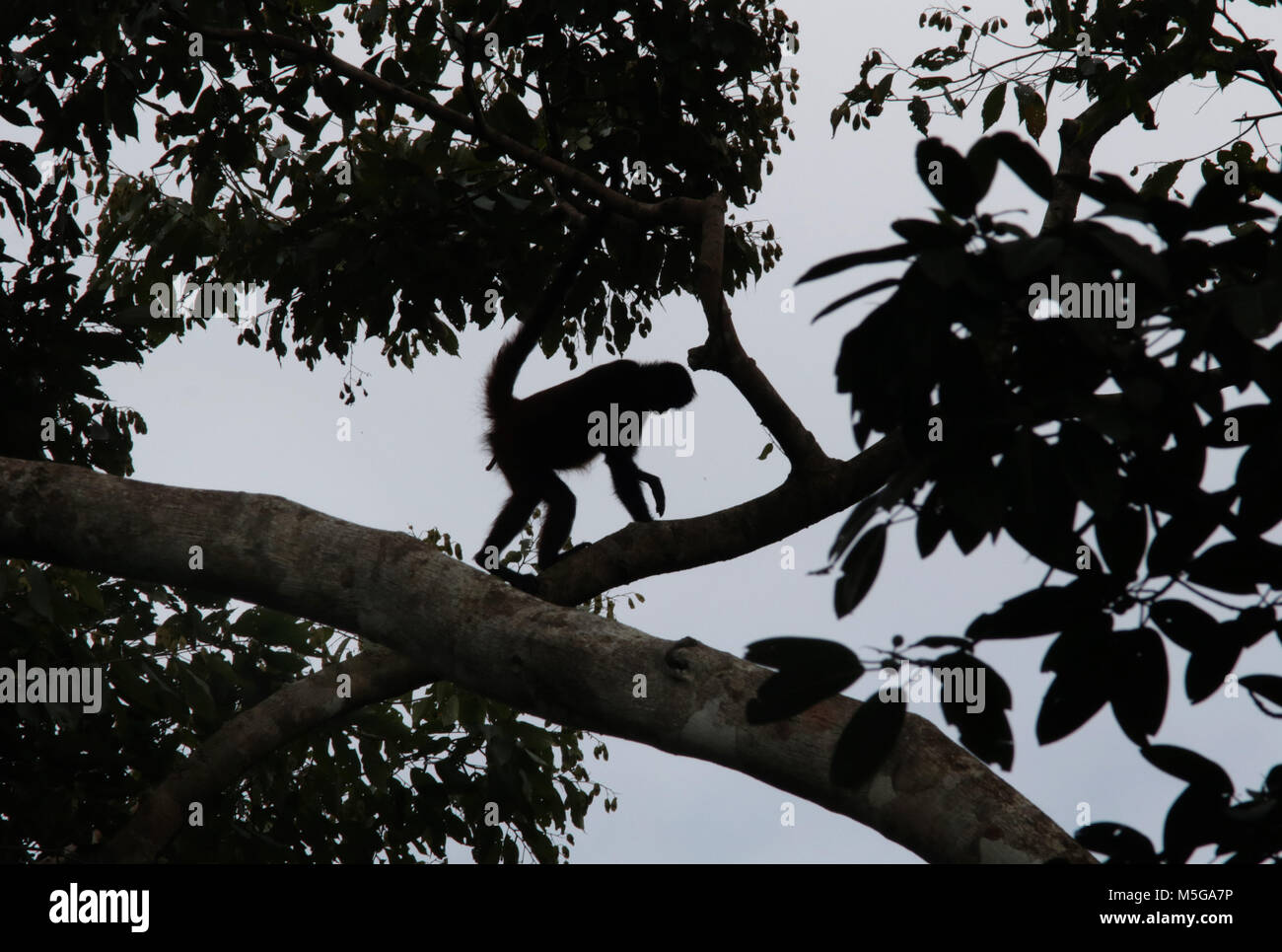 Spider Monkey (Ateles geoffroyi). Corcovado National Park, Osa Peninsula, Costa Rica. Stock Photo