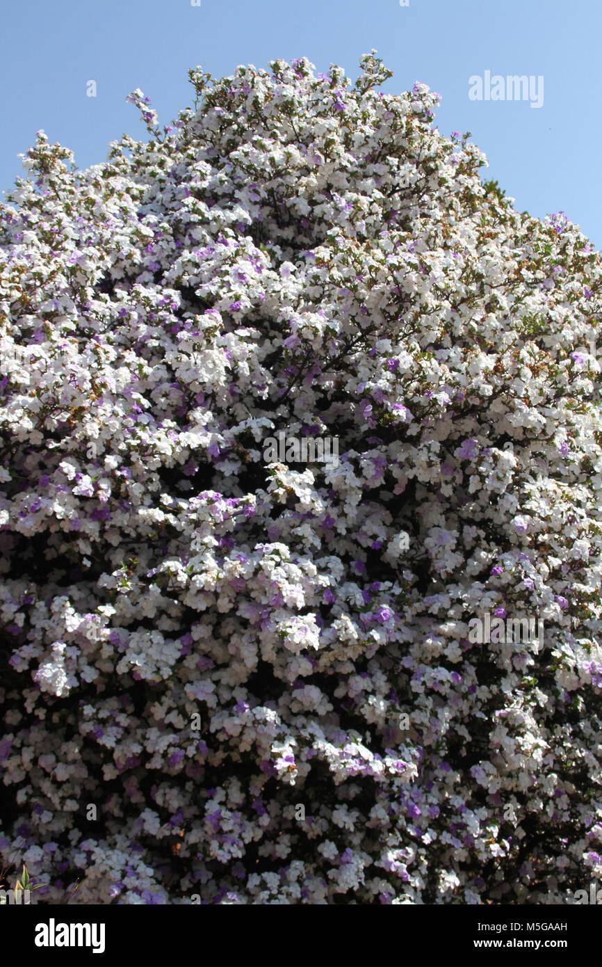 Brunfelsia pauciflora, South Africa - Stock Image