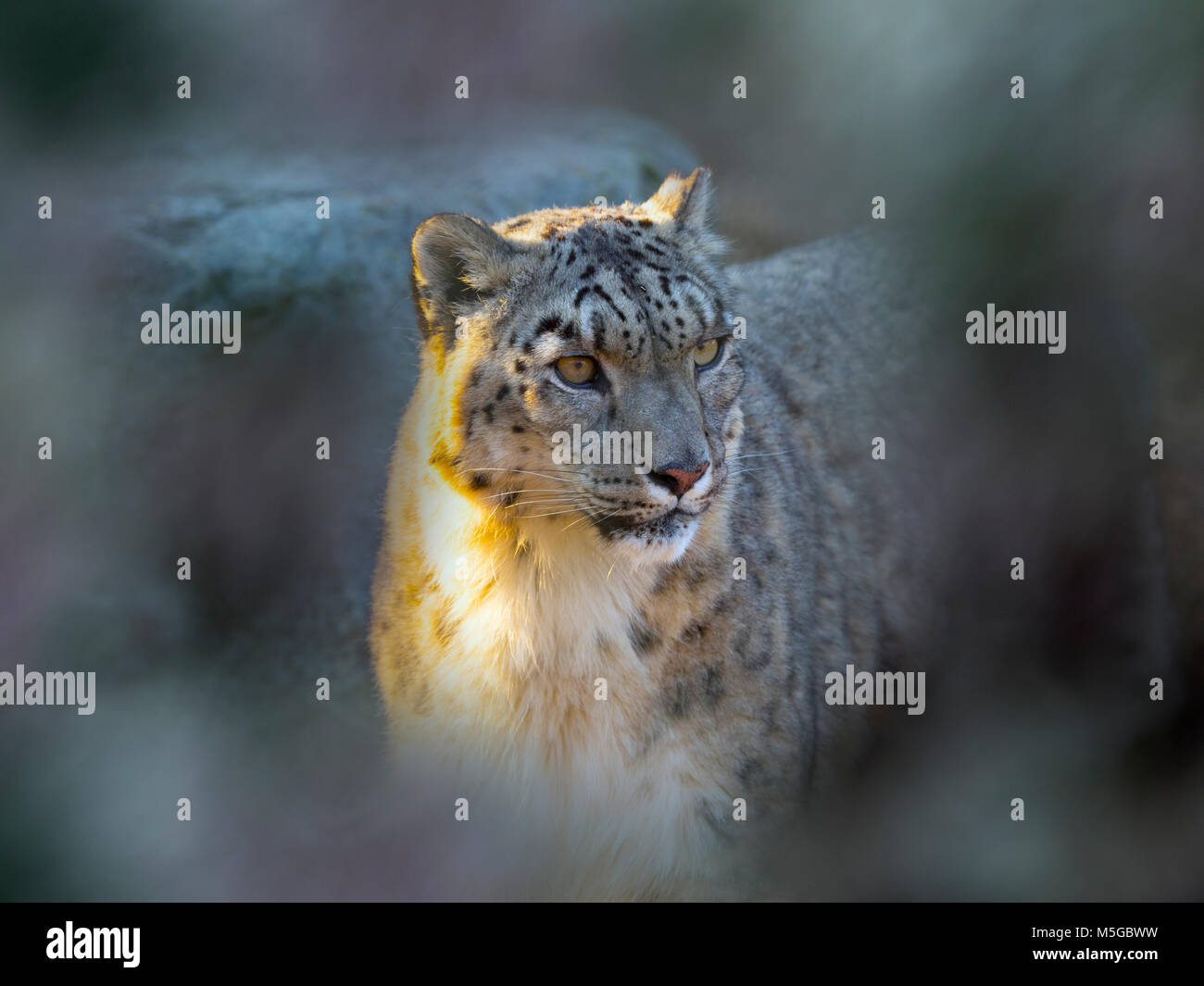 Snow leopard or ounce Panthera uncia in montain habitat - Stock Image
