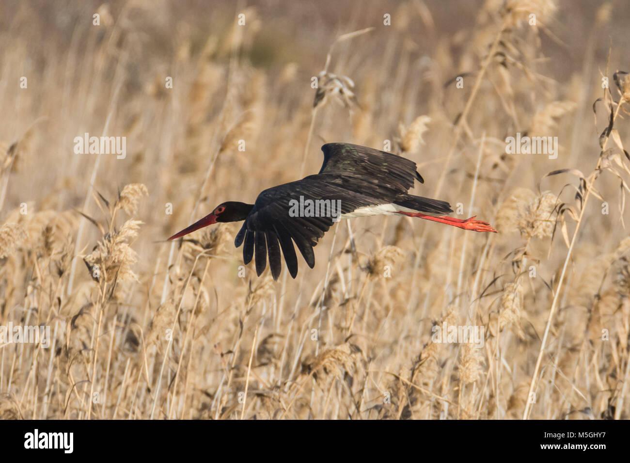 black stork Ciconia nigra Stock Photo