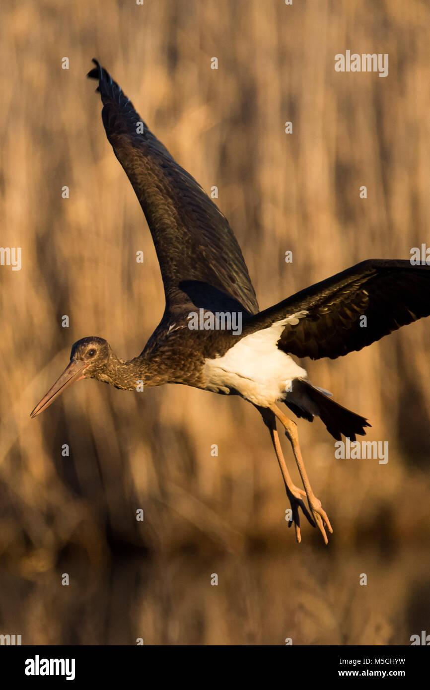 juvenile black stork Ciconia nigra Stock Photo